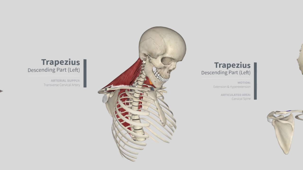 Trapezius Panorama: Muscles in Complete Anatomy (360)